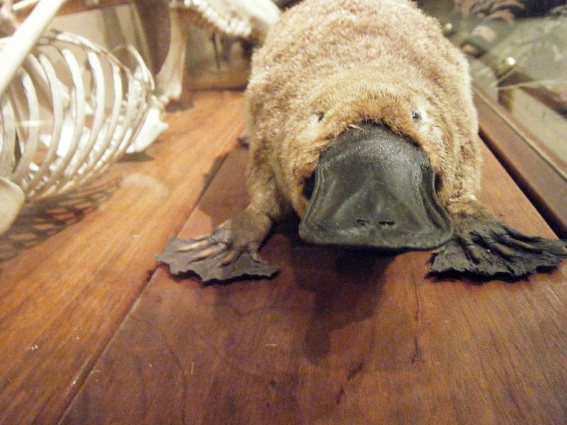 Platypus venom could give rise to a new class of diabetes treatments