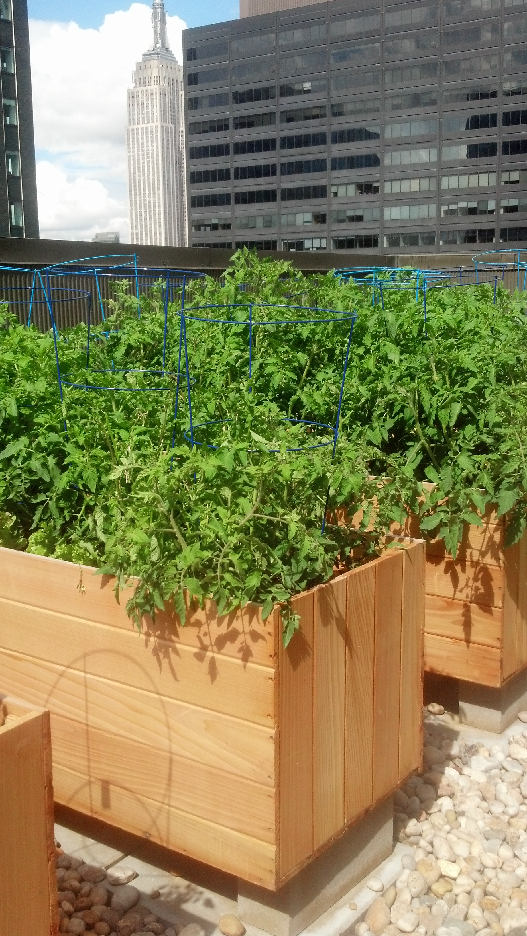 The vegetable beds at the Westin New York Grand Central's rooftop garden are made from white cedar wood.