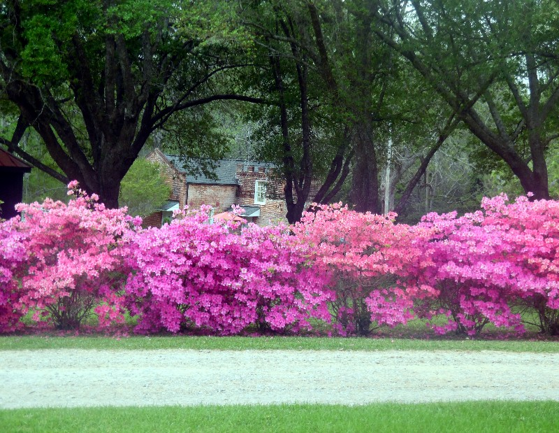 Gorgeous floral blooms characterize Natchez in spring. Photo by Susan J. Young