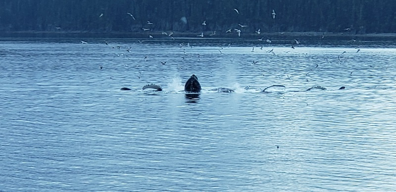 "Whales ""bubble feeding"" in southeastern Alaska. Photo by Susan J. Young."
