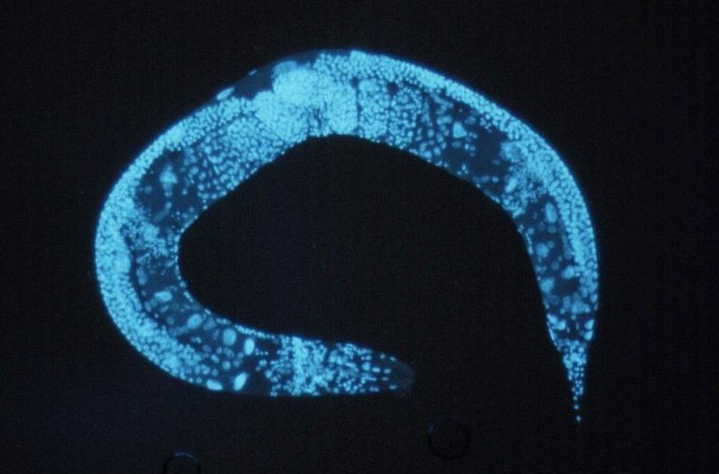 How worms revealed a key protein in insulin synthesis and diabetes