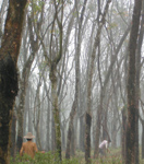 Locals near Hainan, China, have been growing rubber trees for hundreds of years