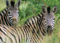 Zebras graze on the game preserve, which the Varty brothers inherited in the 1970s.