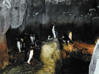 Figure 1. Three species of penguin enjoy the ambient conditions of their native habitats— thousands of miles from home