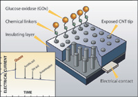 Figure 6.  To create a blood glucose sensor, carbon nanotubes were treated with glucose oxidase and anchored to an epoxy-covered material that acted as an electrode contact