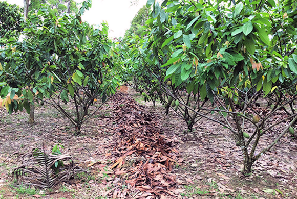 Fig. 1: Cocoa field trial site