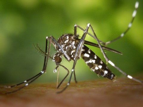 Aedes albopictus mosquito, which transmits Zika virus, Chikungunya virus, dengue fever and yellow fever