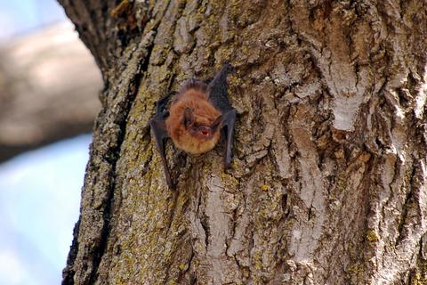 Tiny brown bat.