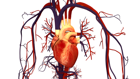 Human heart and ciculatory system