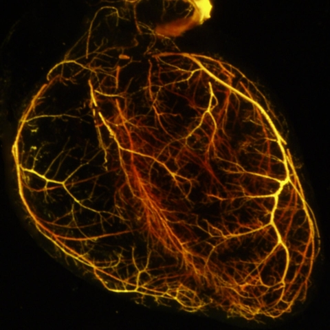 An outline of a mouse heart