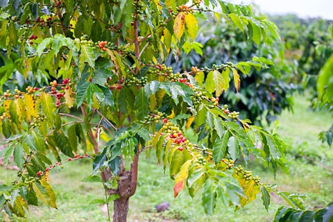 Coffee plant in a field in Kona Hawaii