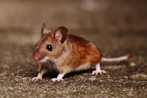 Novel immunotherapy prevents cervical, lung cancer in mice