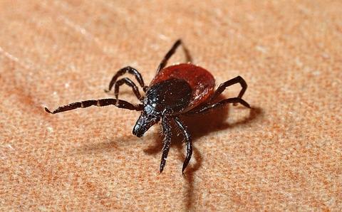 Tick Lyme
