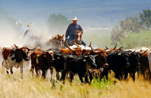 herd cattle