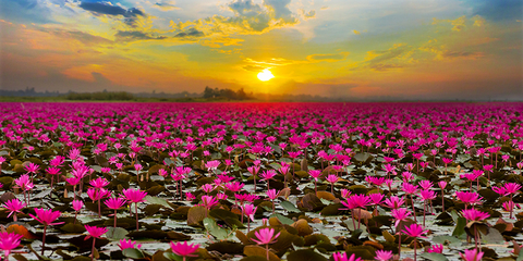 In the pink thai lake draws tourists with spectacular lotus bloom in the pink thai lake draws tourists with spectacular lotus bloom mightylinksfo