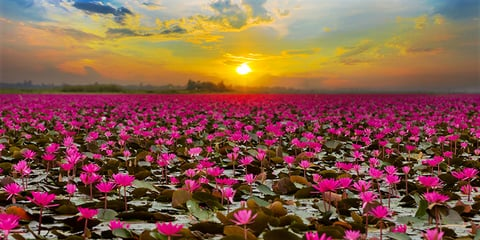 In The Pink Thai Lake Draws Tourists With Spectacular Lotus Bloom