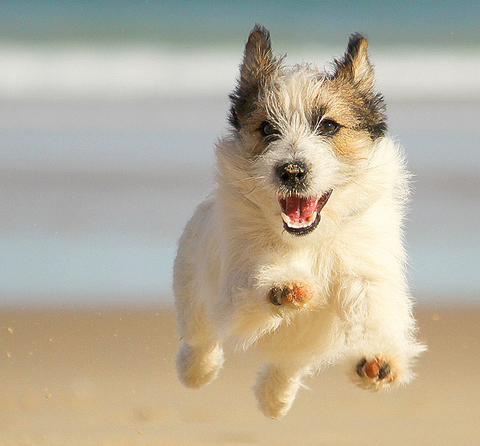 Jack russell dog running at the beach and smiling