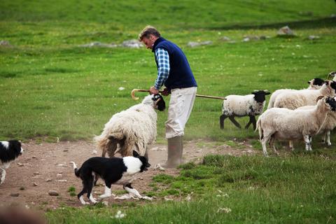 Scotland sheepdog herding