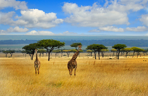 Giraffes strolling on the open savannah in the masai mara -Kenya with a blue cloudy sky and mountain background