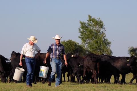 two farmers feeding cows