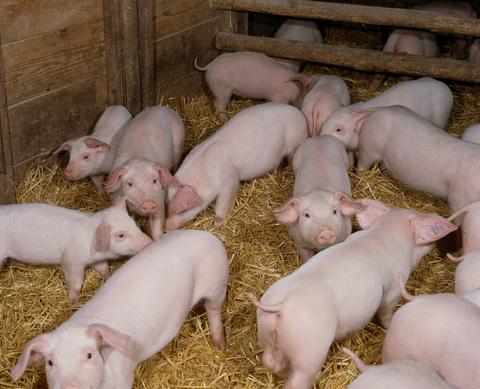 Piglets in a barn