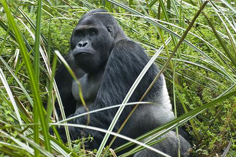 Silverback Gorilla in Congo