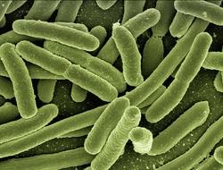green bacteria