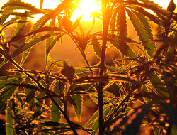 Cannabis UrosPoteko/iStock / Getty Images Plus