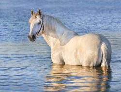 horse swimming in water