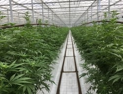 GW Pharma growing area for CBD Epidiolex