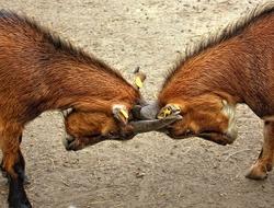 goatfight