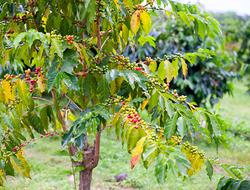 Coffee plant in a field in Kona Hawaii