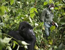 mountain gorilla - coronavirus