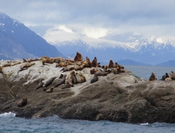 Sea Lions Alaskan Dream Cruises Chichagof Dream Photo by Susan J Young Editorial Use Only