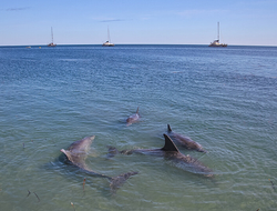 dolphins in Shark Bay