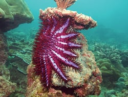 crown of thorns starfish on coral reef