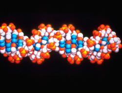 Computer model of DNA