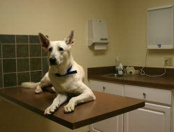 Dog at Vet