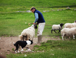 Scotland sheepdog herding