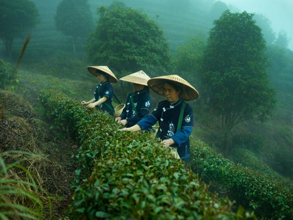 Harvesting the first crop of the year which is the most sought after tea of the entire harvest in the Baisha Area of Southern China.