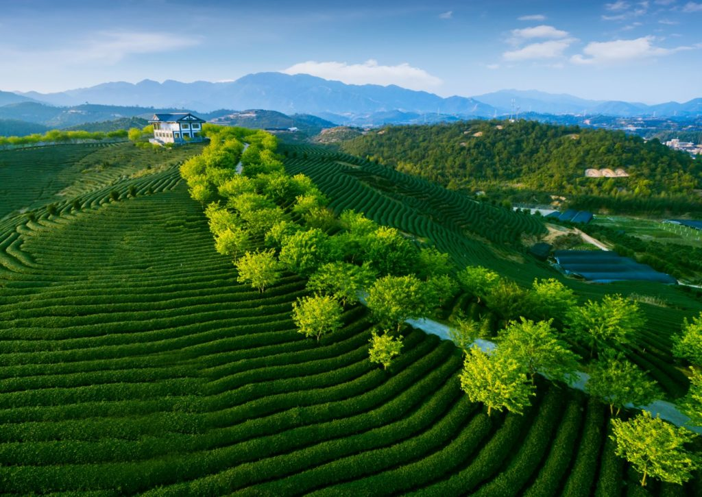 Green Tea Plantation in China's Eastern Provinces