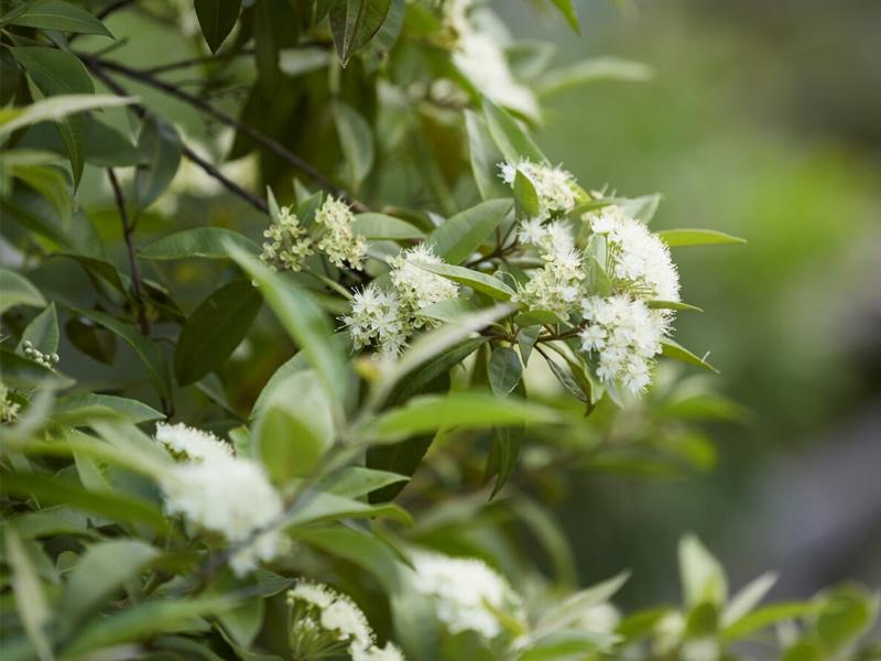 Lemon Myrtle Blossom